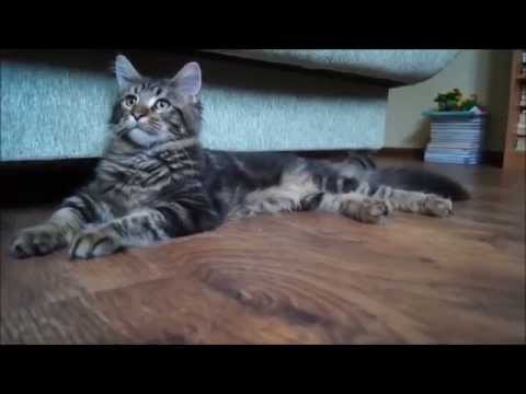 котёнок Мейн кун (5,5 месяцев) из питомника Big Paw*Ru
