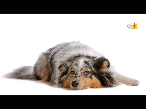 Curso a Distância Primeiros Socorros para Cães e Gatos CPT