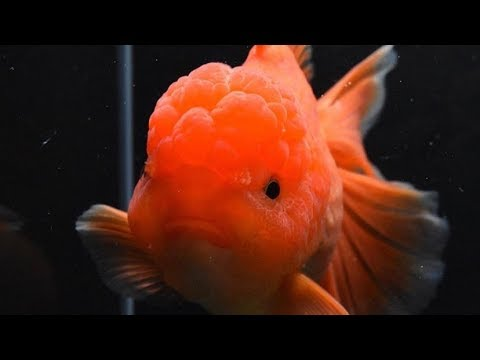 Fancy Goldfish Care For Beginners