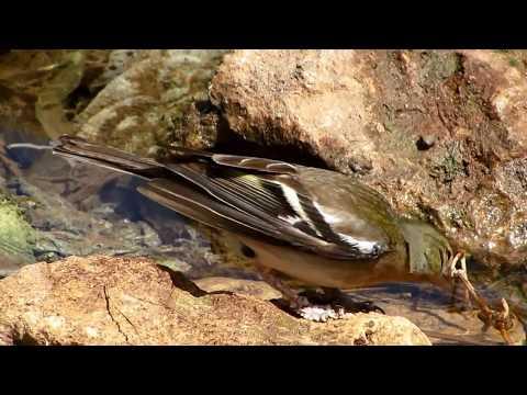 Common Chaffinch (Fringilla coelebs) Σπίνος - Φρυγίλλος ο άγαμος - Cyprus