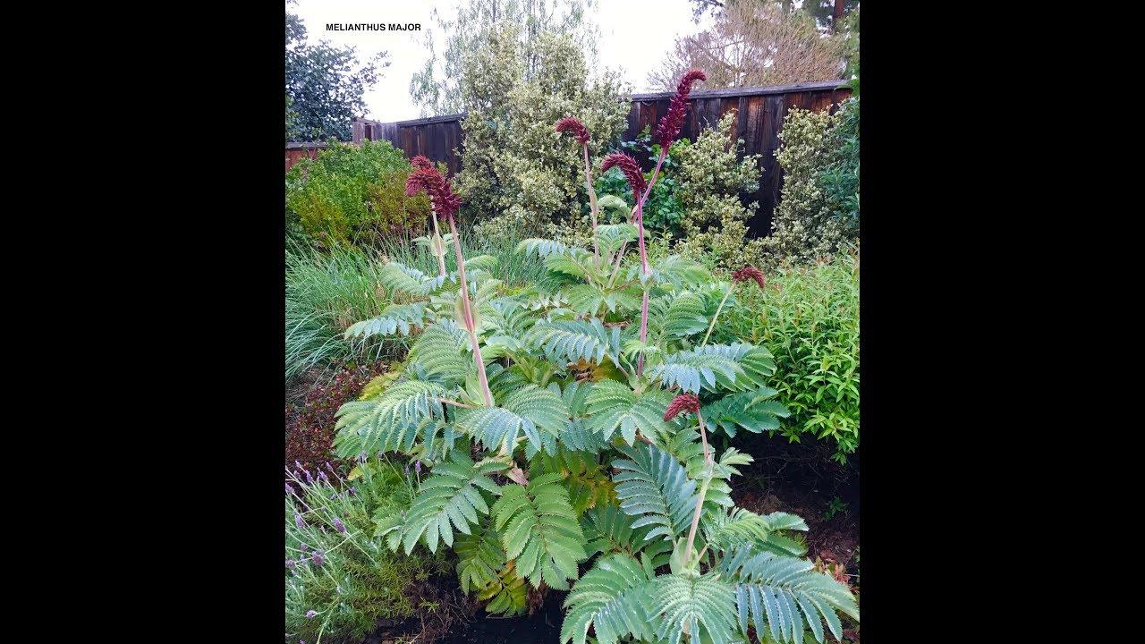 Melianthus Major Honey Bush
