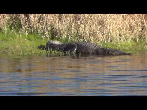 Kayaking With Alligators: What Every Kayaker Should Know
