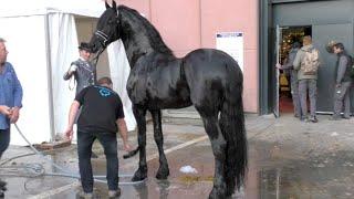 Video Salon du cheval de Paris 2015 - Quelques instants avec TIDE entier frison ster download MP3, 3GP, MP4, WEBM, AVI, FLV Oktober 2018