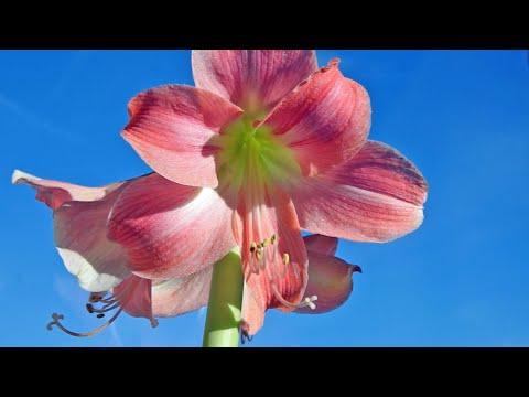 Amarylis i hipeastrum - jak wydłużyć i powtarzać kwitnienie - rośliny cebulowe