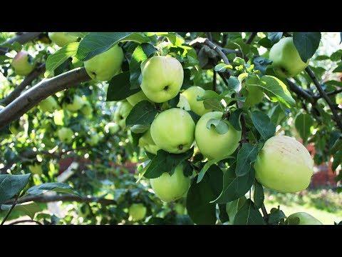 Экспресс метод подкормки яблони