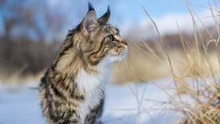 Maine Coon Molly in Snow (Compilation)