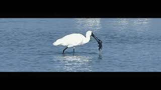 13 the fish jumping out of the water while the black-faced spoonbill chasing the fish