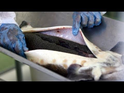 Caviar De Andalucía:  Paso A Paso Hasta Obtener El Mejor Caviar Ecológico Del Mundo