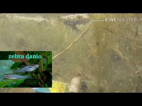 Snorkeling With Aquarium Fishes   Zebra Fish,glass Fish,loaches   Aqua Adventure  