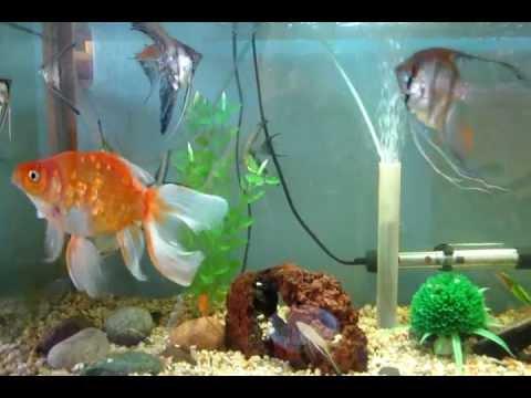 Mi acuario comunitario goldfish escalares mollys for Peces goldfish tipos