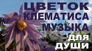 ЦВЕТОК КЛЕМАТИСА – МУЗЫКА ДЛЯ ДУШИ от  Nina Petrusha channel Clematis TV