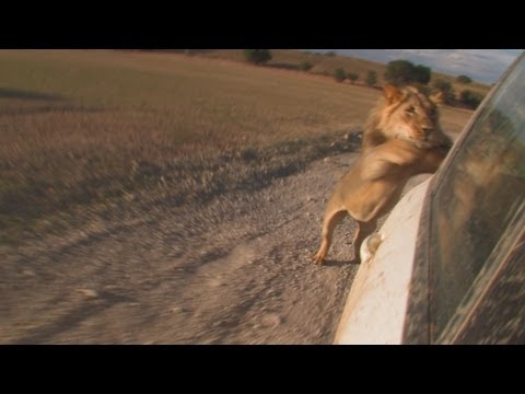 Male Lions attack a Car