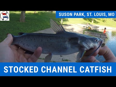 Fishing For Stocked Catfish At Suson Park, St. Louis, MO | Catfish W/ Cut Bait | Simple Catfish Rigs