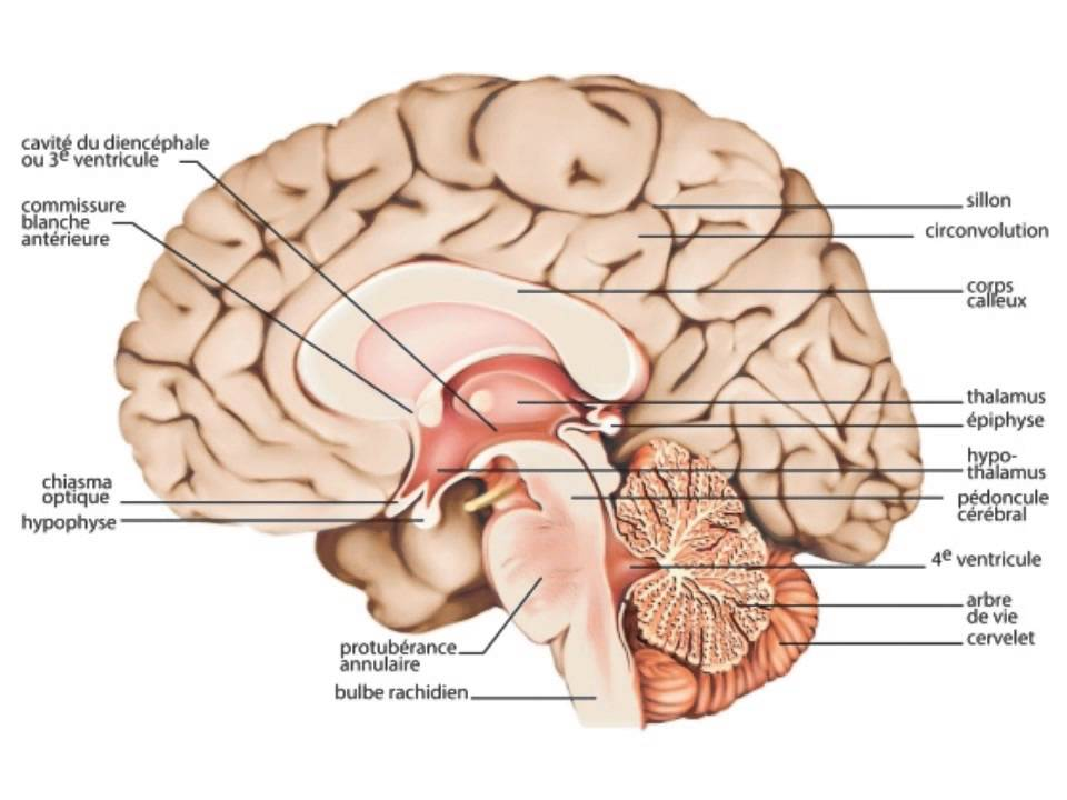 NEUROANATOMIE DU CERVEAU EBOOK