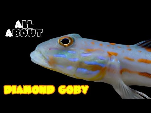 All About The Diamond Goby
