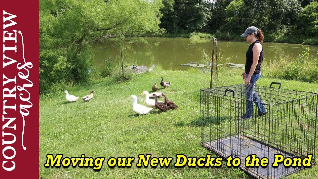Moving new Ducks to the Ponds and other Random Clips around the Homestead