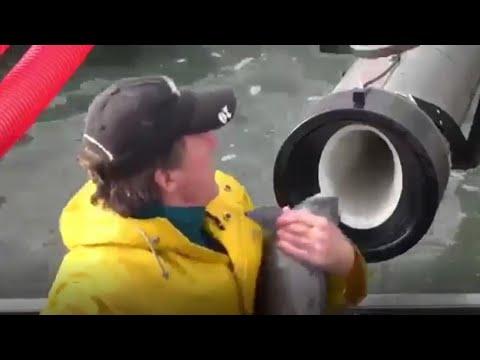 Il cannone che spara i salmoni: per i pesci una scorciatoia a fin di bene