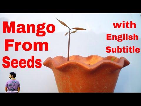 आम को गुठली से कैसे उगाये /How to Grow Mango From Seeds/Easy Method -15th June 2017 /Mammal Bonsai - 동영상