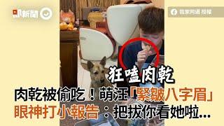 高雄米克斯犬不爽肉乾被小姐姐偷吃 緊皺八字眉向狗爸打小報告|寵物