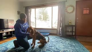 Best Dog Training Toledo, Ohio! 6 Month Old Bloodhound, Dixie!