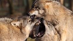 Wölfe Raubtiere Gebiss Zähnen Tötungsbit Raubtier - Wolfcenter Dörverden - by schuhplus