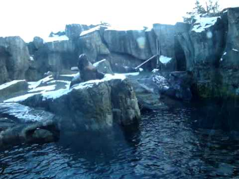 Alaska Sealife Center Woody the 1600 lb Steller Sea Lion