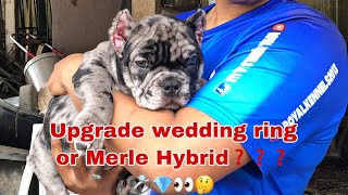 """""""Merle Hybrid"""" Did I really just buy my Wife a Merle"""