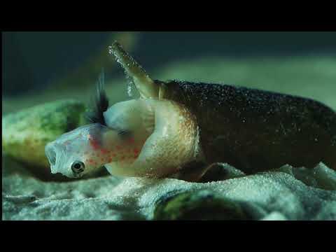 Cone Snail Eats Fish