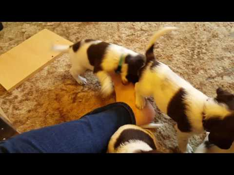 Playtime puppies English springer spaniels puppies at play
