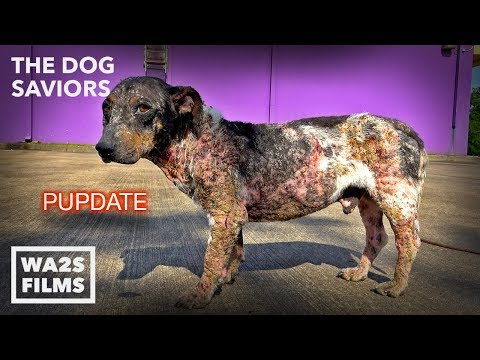 Hope Rescues Dog Turning To Stone Too Hurt To Move In Houston #StrayDogCity
