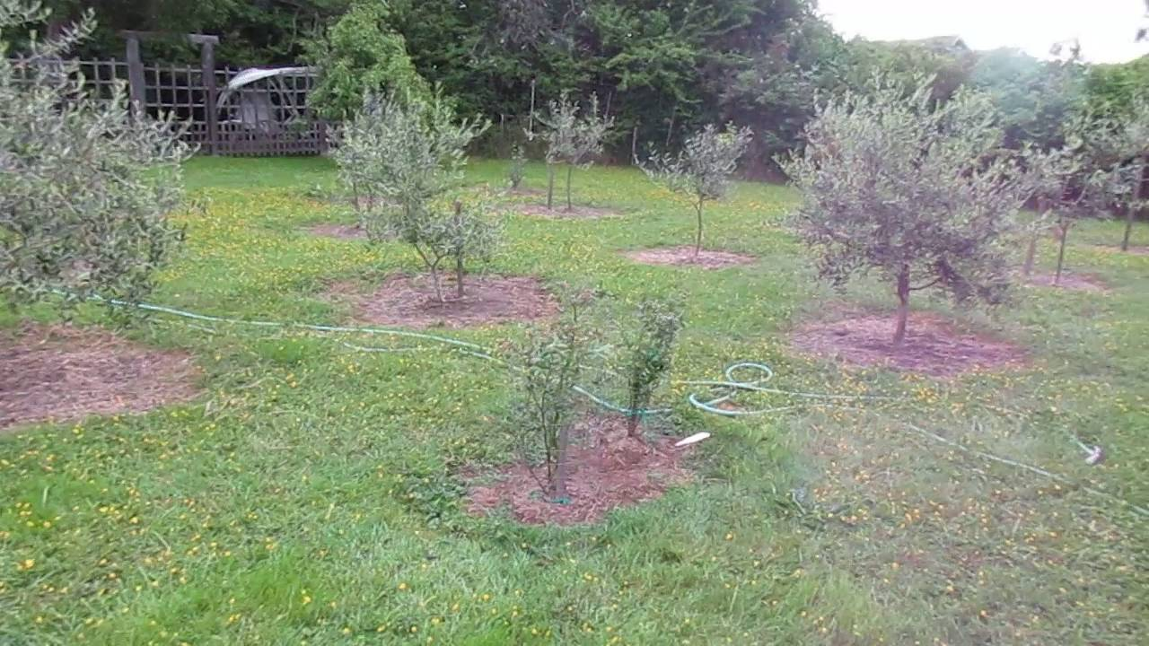 growing olive trees in canada youtube