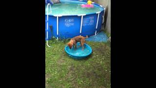 Coco's Own Pool - Chocolate Labrador Rottweiler Cross
