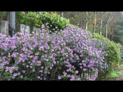 Сентябрины -  цветы осени. Загородная жизнь.
