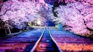 The Most Beautiful Japanese Cherry Blossom Photos Of 2014 HD 1080p