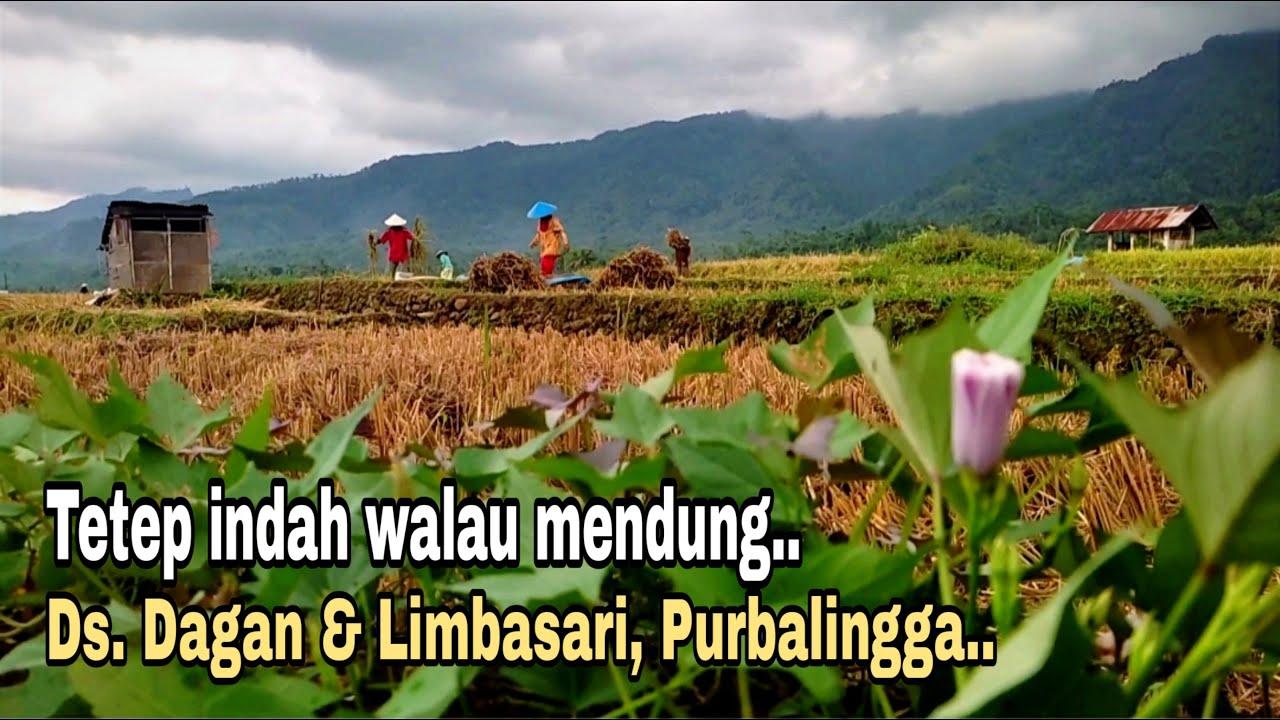 kehidupan pedesaan di Indonesia    aktifitas di sawah saat mau hujan, dagan, limbasari, purbalingga.