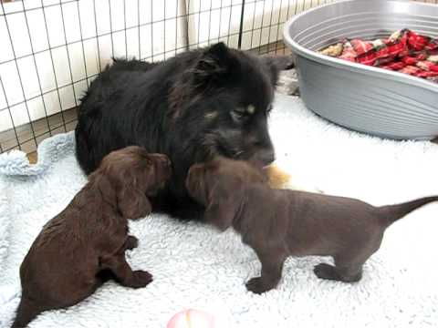 Field spaniel puppies and our finnish lapphund Misa