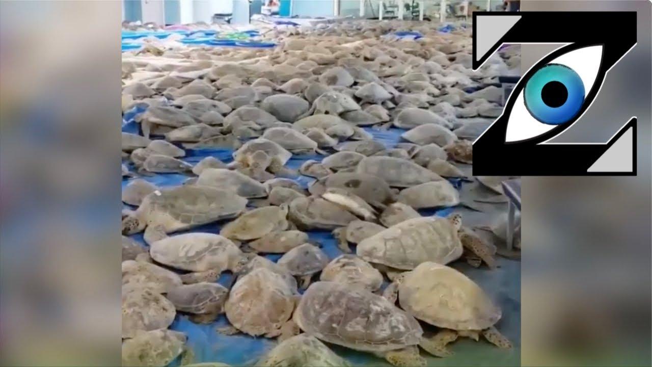 Download [Zap Net] 4.700 tortues étourdies par le froid au Texas ! (19/02/21)