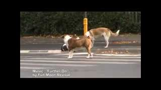 Street Dogs use crosswalks - Full Moon Revival