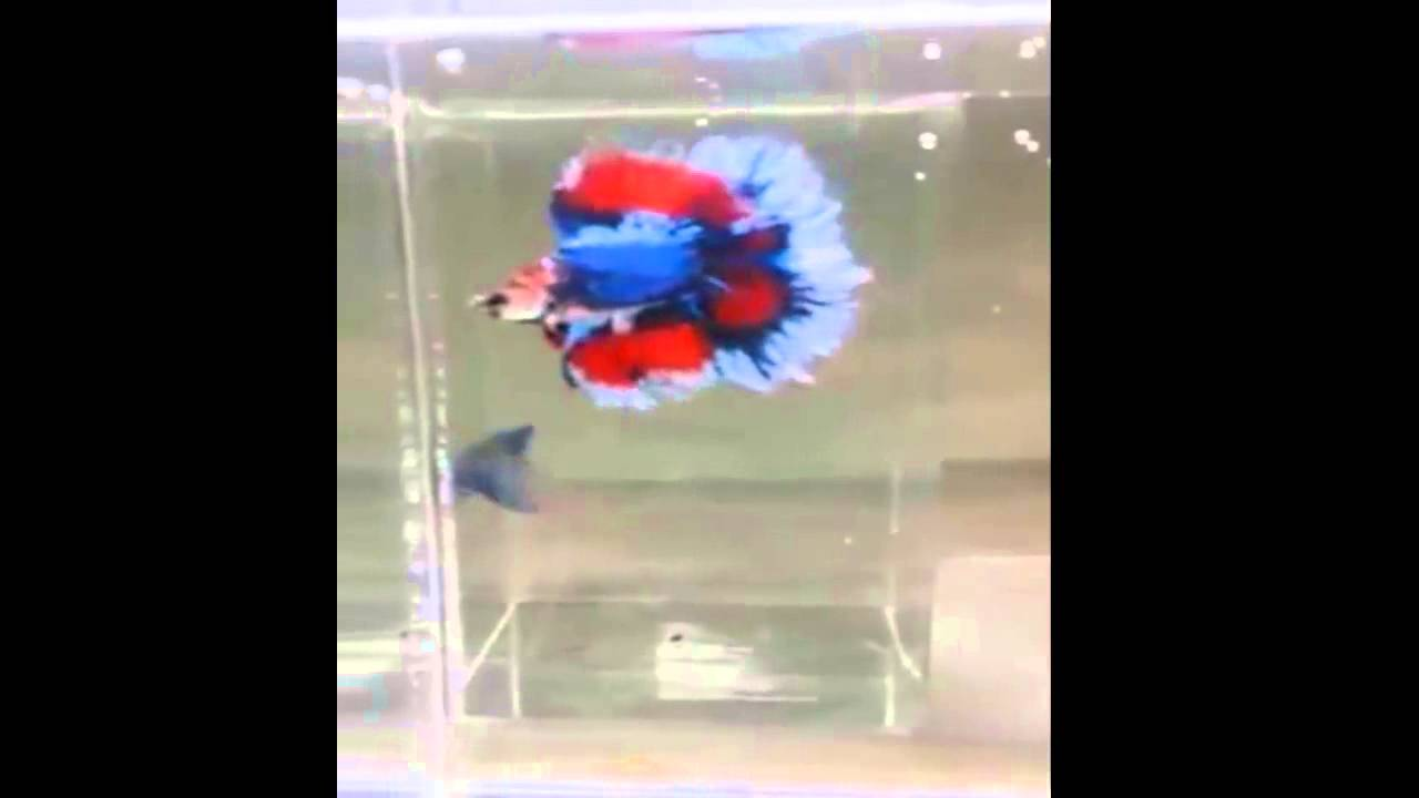 Double tail betta fish youtube sciox Image collections