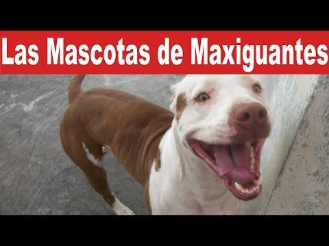 Las Mascotas de Maxiguantes | Tu Mascota TV