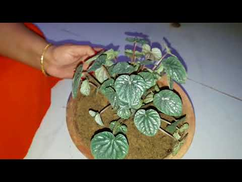 How to Grow and Care Pepperomia Plant    Fun Gardening    7 Nov, 2017