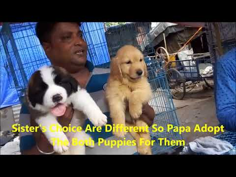 Best Quality St. Bernard & Golden Retriever Puppy Get Their New Family