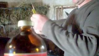 Витаминизация бычков ///Прирост 1200 гр/сутку