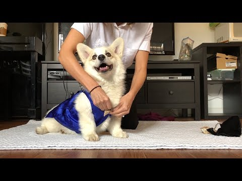 Winston the White Corgi's How To: New Year's Day (the Korean Way)