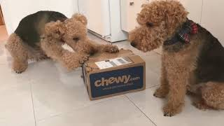 Two terriers' unboxing a Chewy box