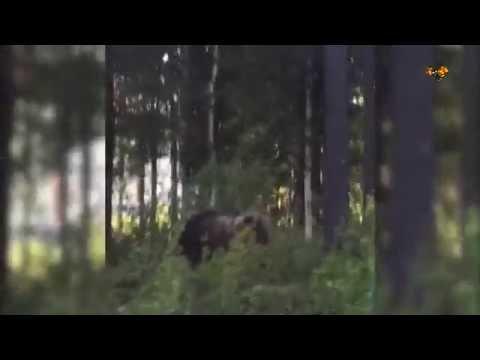 Här går björnen till attack mot kalven