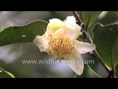 Camellia sinensis or the tea plant growing in Sikkim
