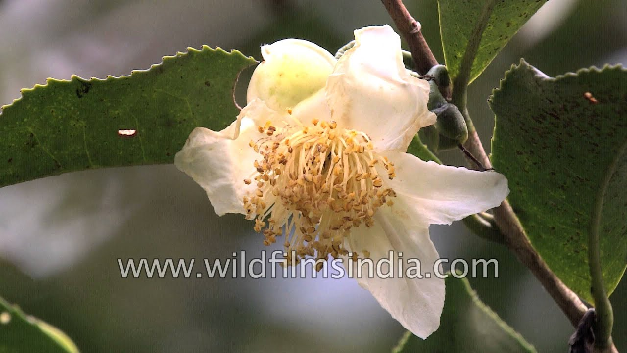 Camellia Sinensis Or The Tea Plant Growing In Sikkim Youtube
