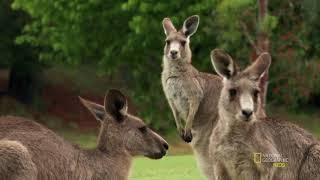 Удивительные животные: Гигантский кенгуру