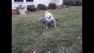 Bichon Frise & Toy Poodle Mix & Shih Tzu Mixed With Toy Poodle